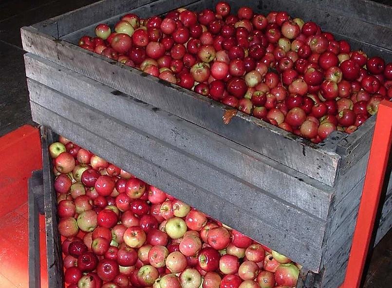 Apples Prepared for Cider